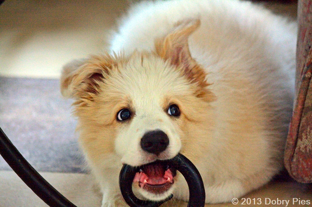 Pies Demolka